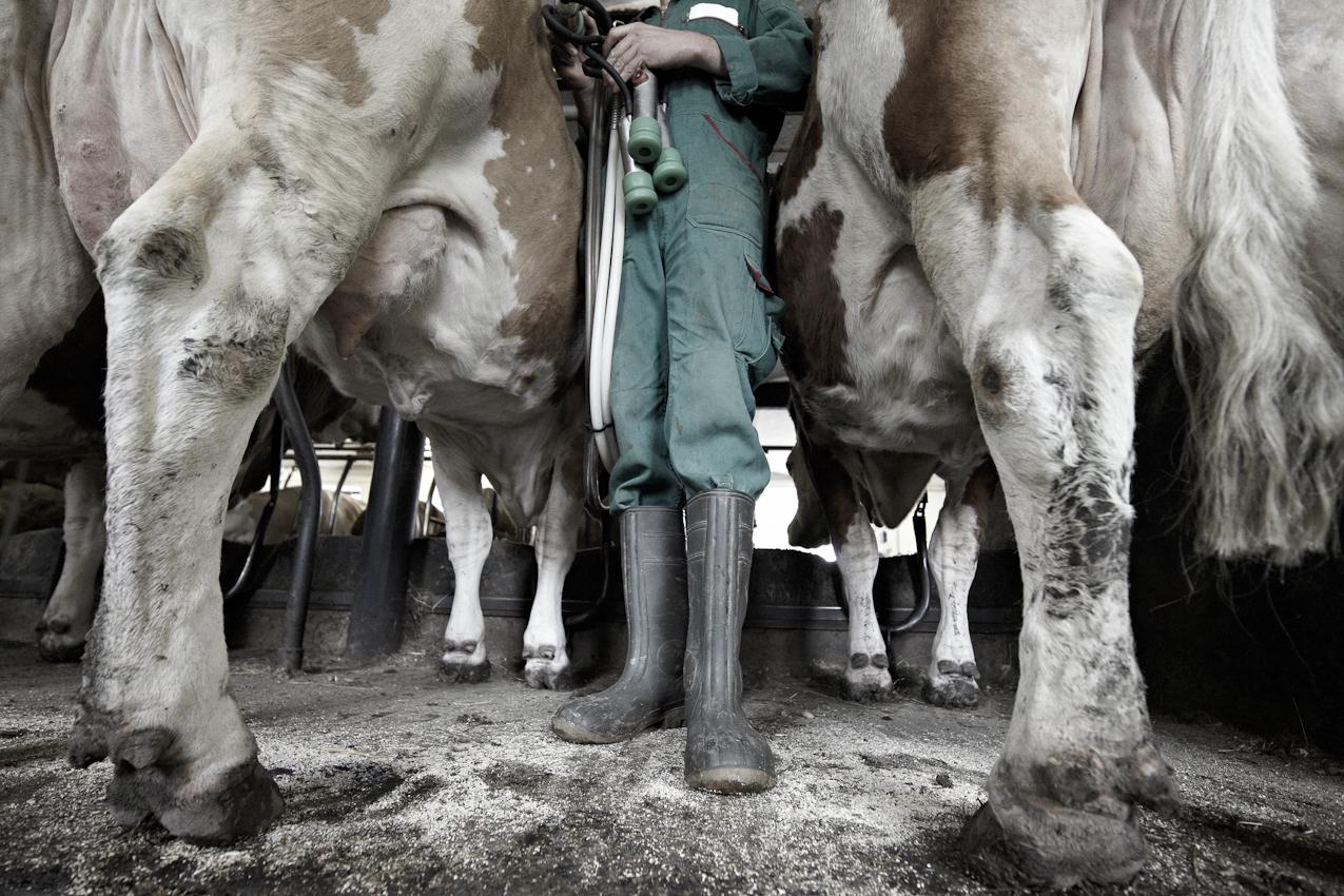 Demeter-Landwirt Josef Bichlmayr steht zwischen seinen Milchkühen, das Melkgeschirr haltend