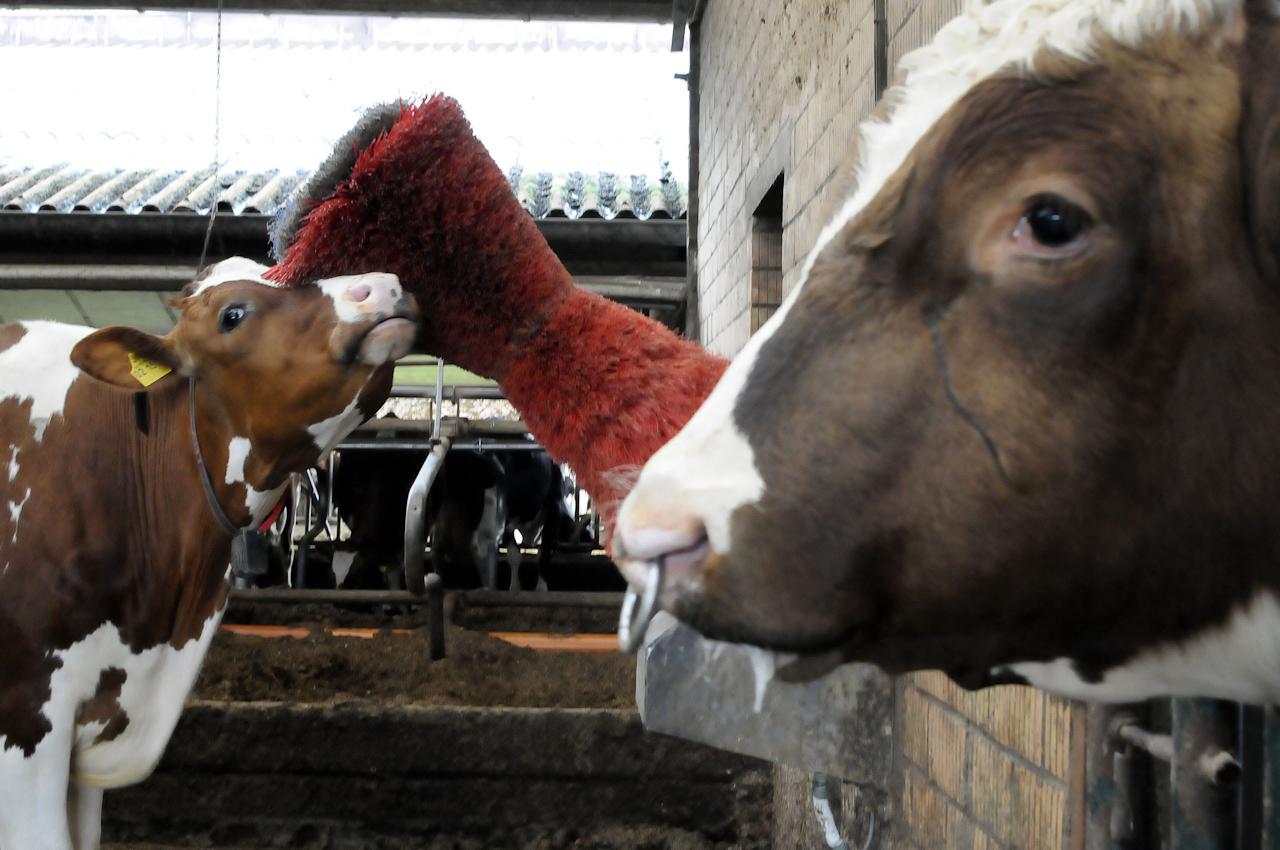 """Der Bulle Theo schaut mir manchmal dabei zu, wie ich mich an der Kuhbürste """"happy cow"""" schubbere und so mein Fell sauber halte."""
