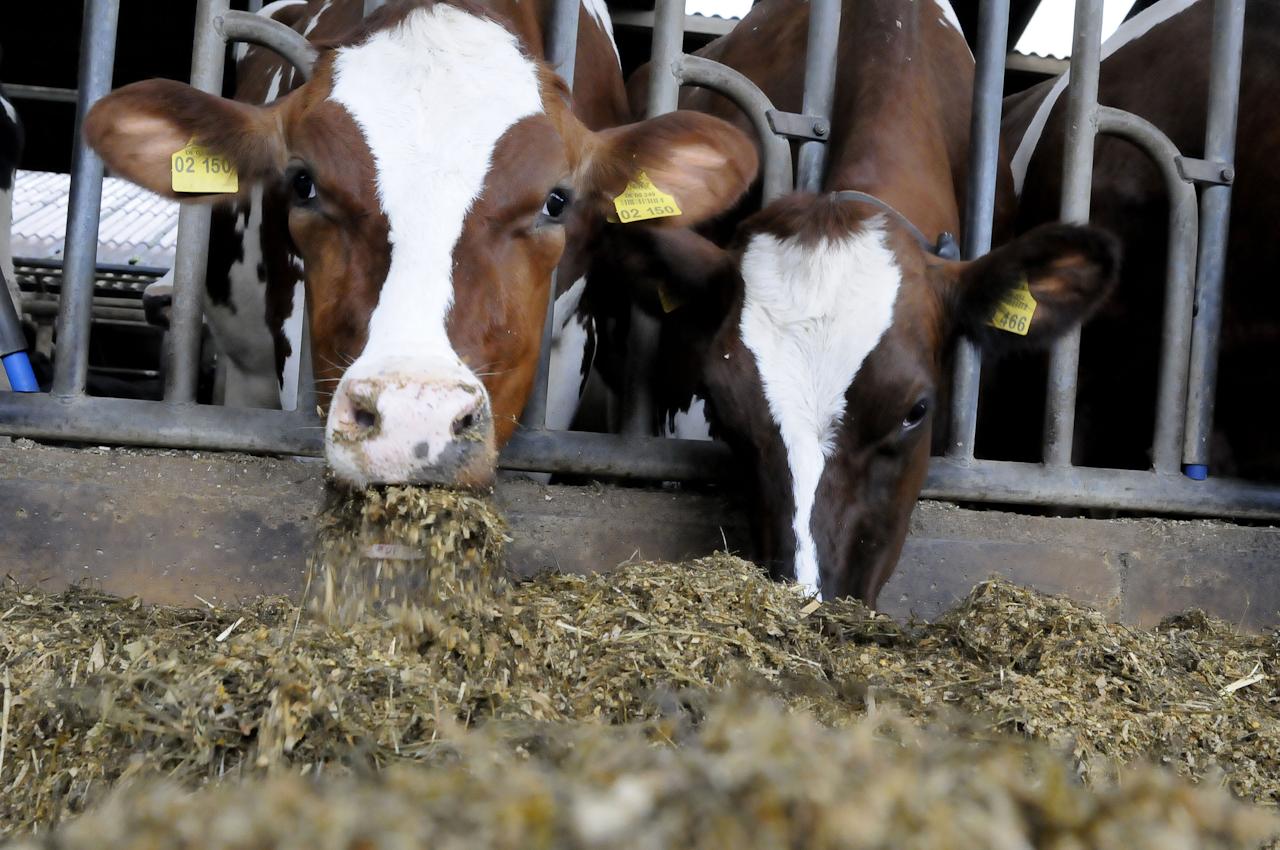 Abends gibt es noch einmal Futter. Solange ich Milch gebe, fresse ich im offenen Boxenlaufstall, danach wieder auf der Weide. So, jetzt ist mein Tag bald vorbei. Ich hoffe, Ihr könnt euch jetzt ein bisschen besser vorstellen, wie mein Alltag so aussieht!