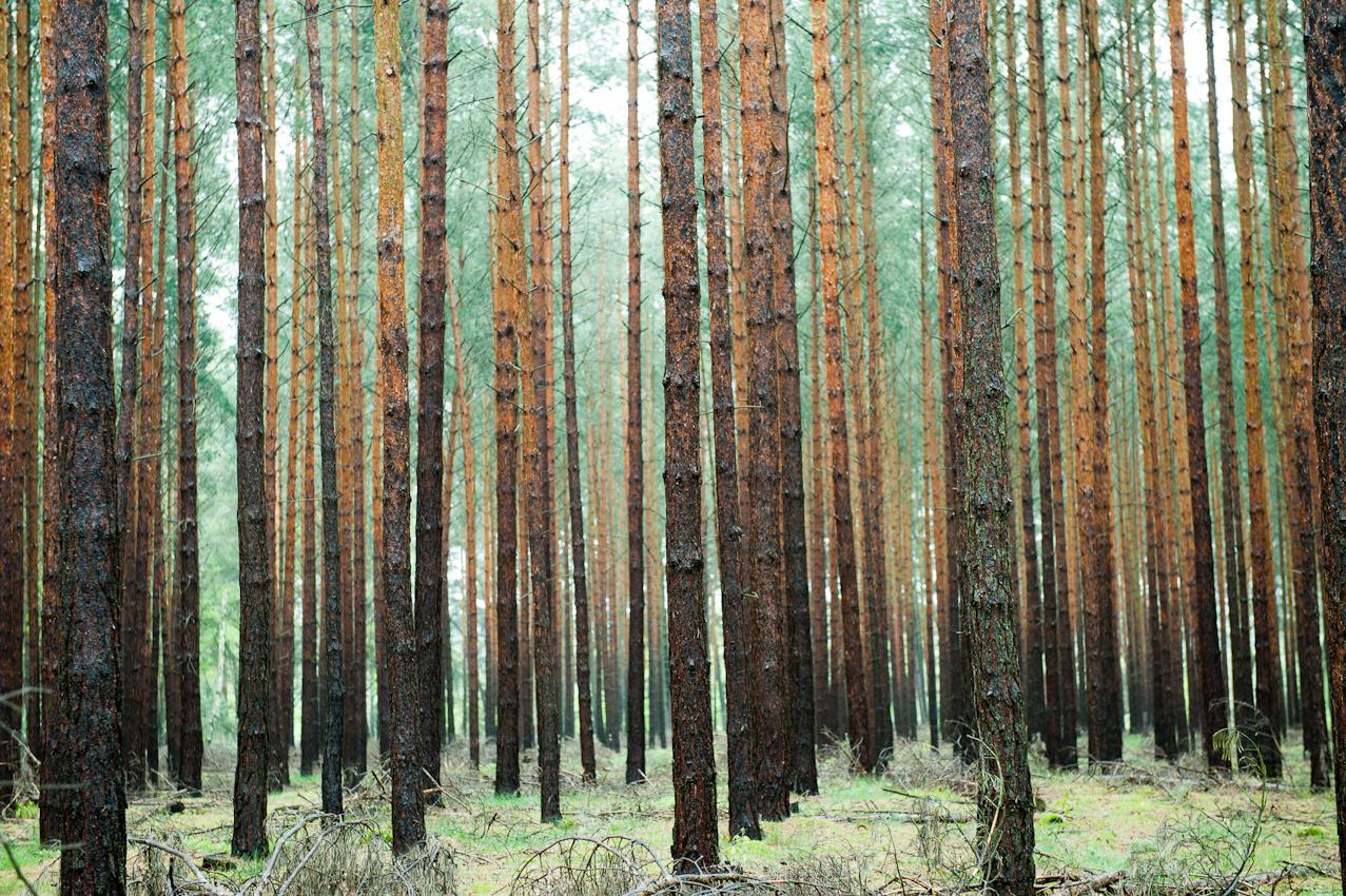 Kiefernwald  wartet auf Feriengäste am Bauersee, Prenden, Kreis Barnim, Brandenburg.
