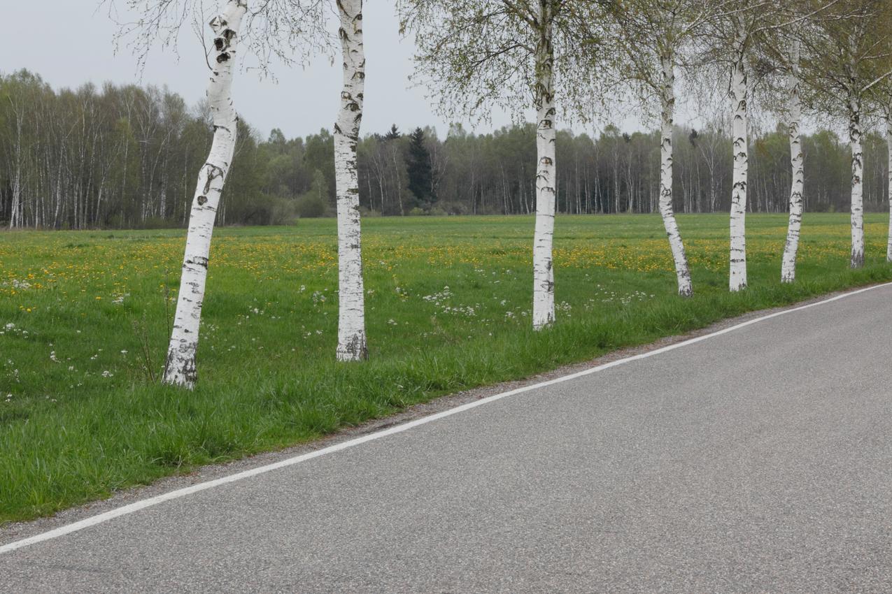 Das Pfrunger Burgweiler Ried ist ein großes Moorgebiet in Oberschwaben. Das Hochmoor ist weitgehend erhalten geblieben und hat heute zirka 150 ha Fläche. Es ist seit 1980 als Naturschutzgebiet ausgewiesen. Das Gebiet ist nur von wenigen Straßen durchzogen. Die Straße Pfungen - Riedhausen verläuft durch dieses Schutzgebiet. Durch den feuchten Standort ist diese ein guter Standort fur die Birkenalle entlang dieser kleinen Landstraße.