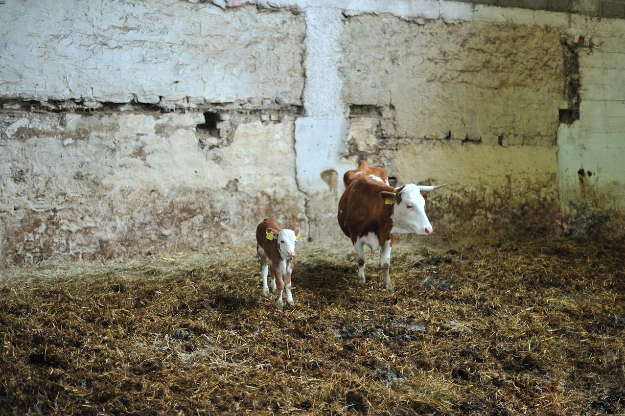 """Die Familie Franck vertritt die """"slowfood"""" Initiative für nachhaltige Landwirtschaft. Natürlich mit mehr als nur diesen beiden Rindsviechern des alten Landschlags """"Hinterwälder"""" in malerischer Umgebung."""