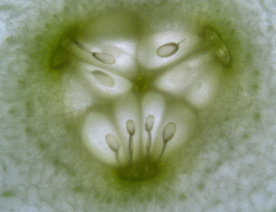 17:12 Uhr - Eine 2mm dünne Scheibe einer grünen Salatgurke auf dem Leuchtpult.