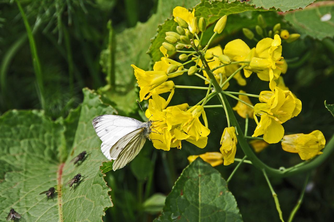 Ein Schmetterling sitzt auf einer Rapsblüte.