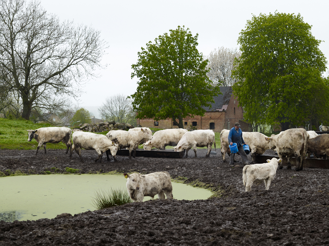 Fritz Kröger füttert seine Kühe.