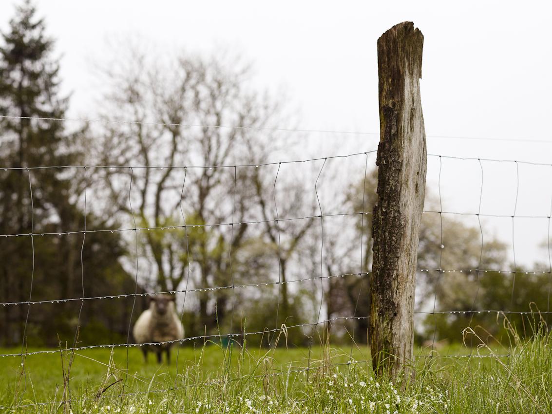 Ein Schaf weidet auf einer Wiese.