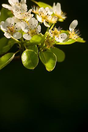 Birnenbaumblüten in einem Garten in Reinbek.